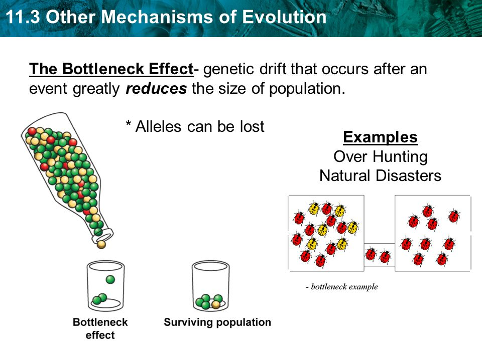 genetic drift as an evolutionary force Genetic drift and founder effect genetic drift genetic drift causes rapid random changes in gene pool frequencies occurring in small populations forces that drive evolution inheritance random genetic change natural selection genetic drift migration etcdocuments.