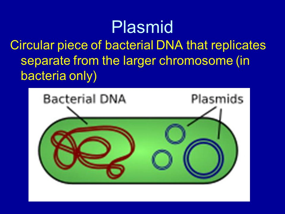 Plasmid Circular piece of bacterial DNA that replicates separate from the larger chromosome (in bacteria only)