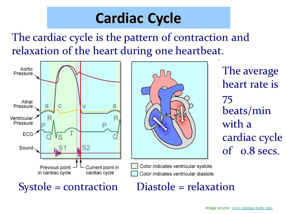 myogenic contractions of the cardiac cycle