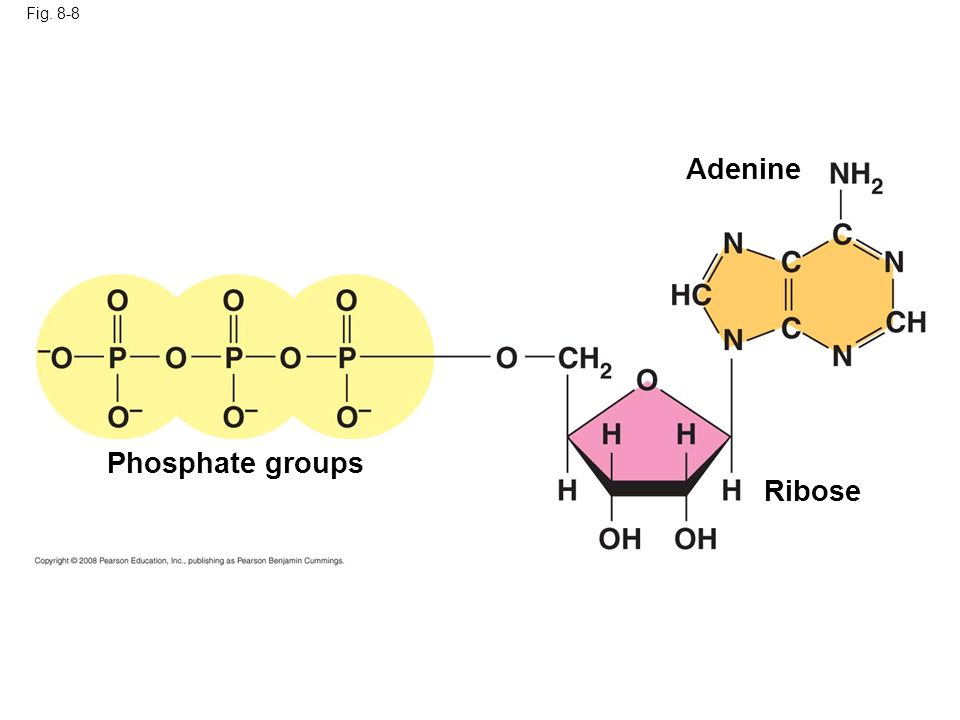 Adenine Phosphate groups Ribose Fig. 8-8