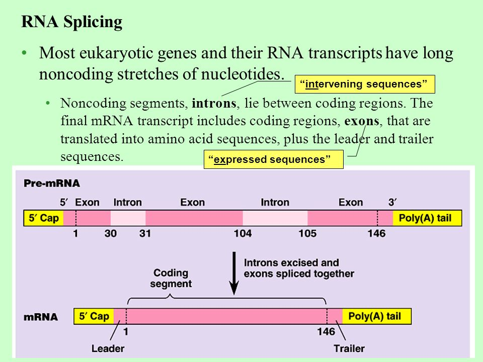 Eukaryotic cells modify RNA after transcription - ppt download