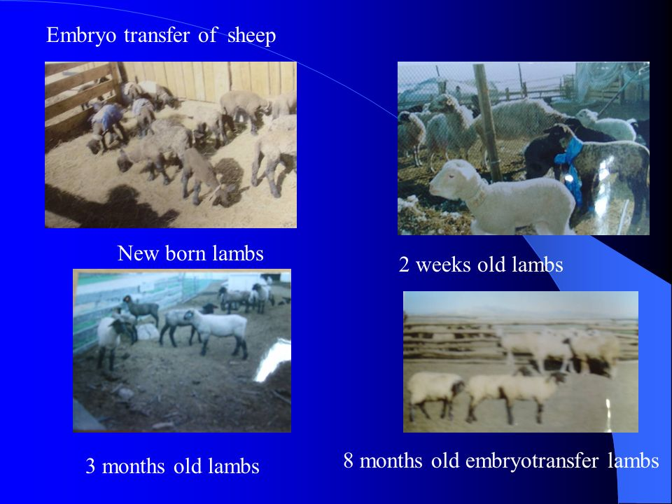 Embryo transfer of sheep