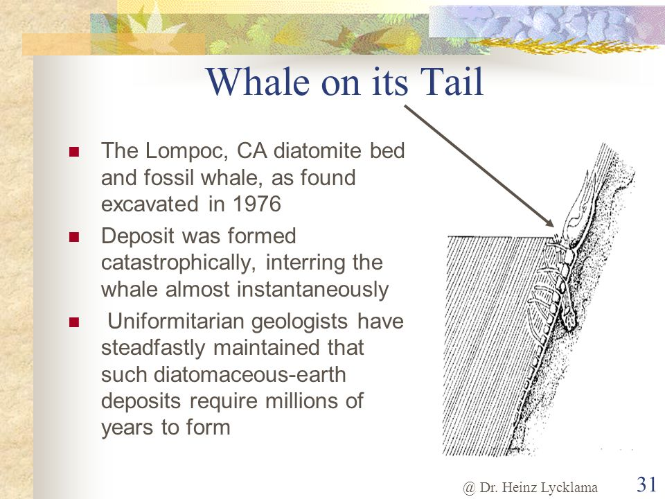 Whale on its Tail The Lompoc, CA diatomite bed and fossil whale, as found excavated in 1976.