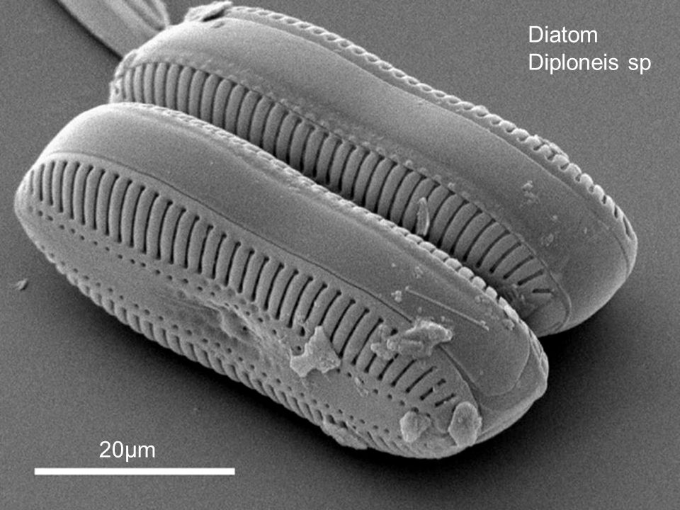 Diatom Diploneis sp 20µm Images from: