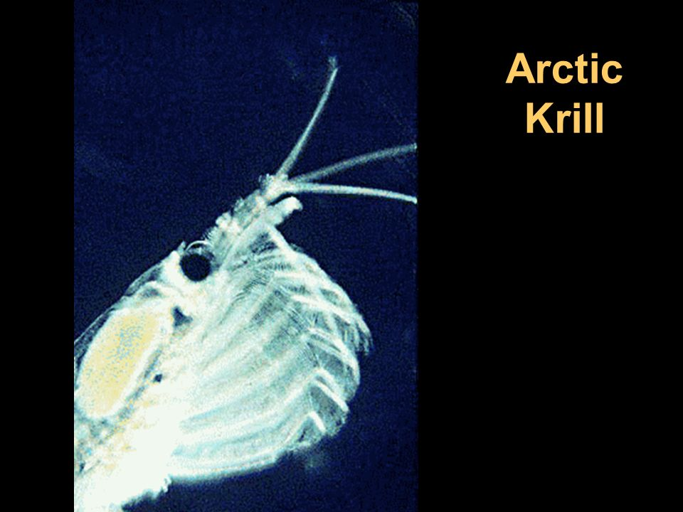 Arctic Krill Image source: Wikimedia Commons
