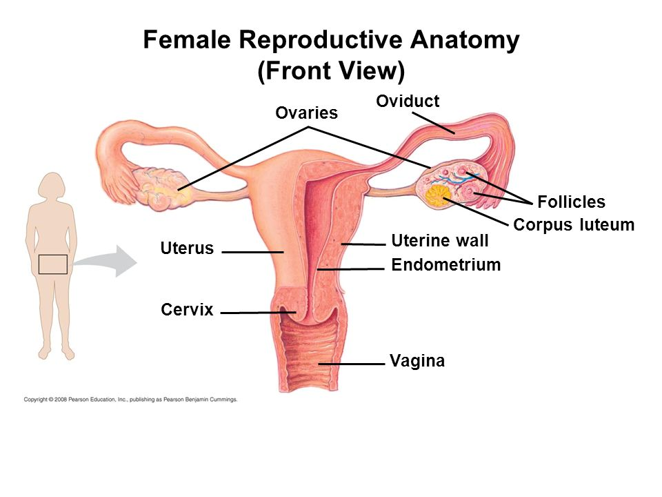 Female Reproductive Anatomy Diagram Front View Block And Schematic