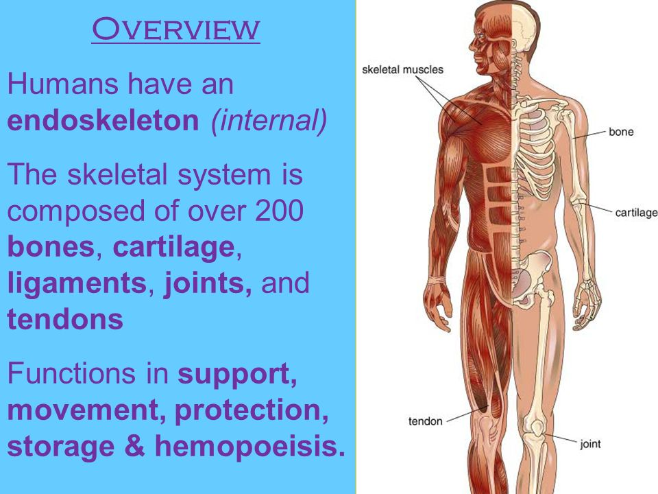 Ch 5 Skeletal System Ppt Video Online Download