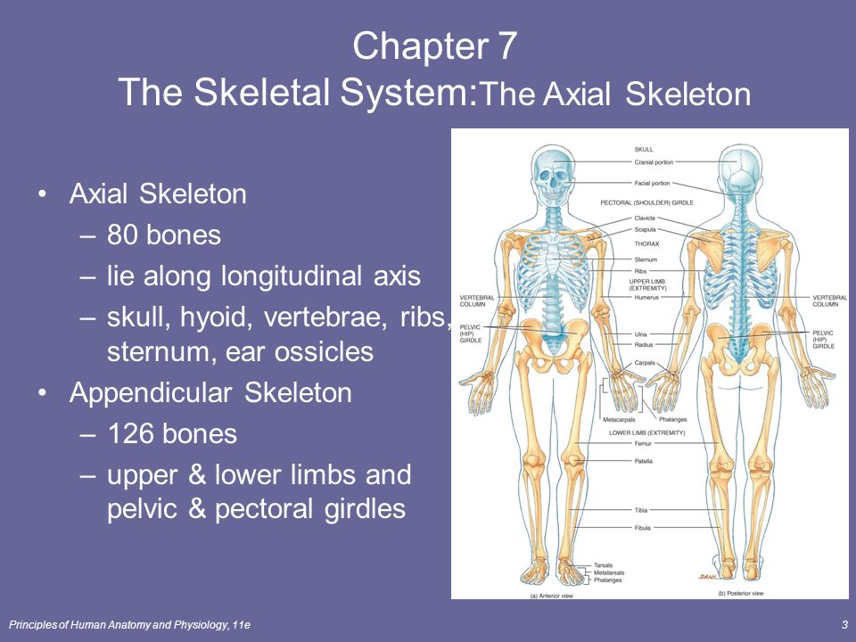 The Skeletal System The Axial Skeleton Lecture Outline