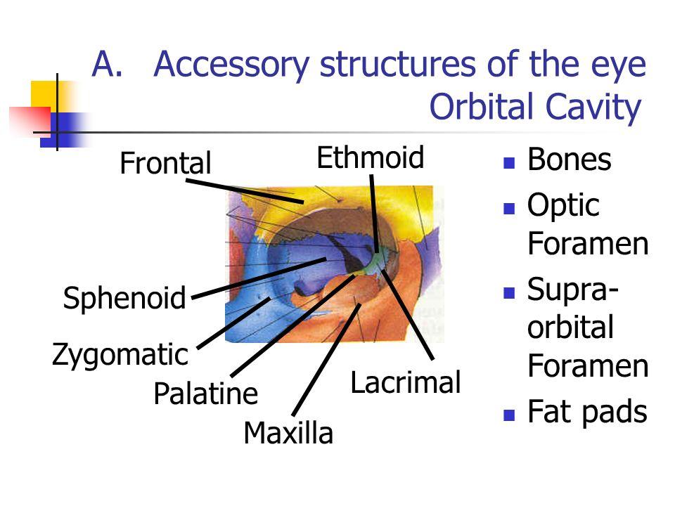Único Eye Anatomy And Physiology Inspiración - Imágenes de Anatomía ...