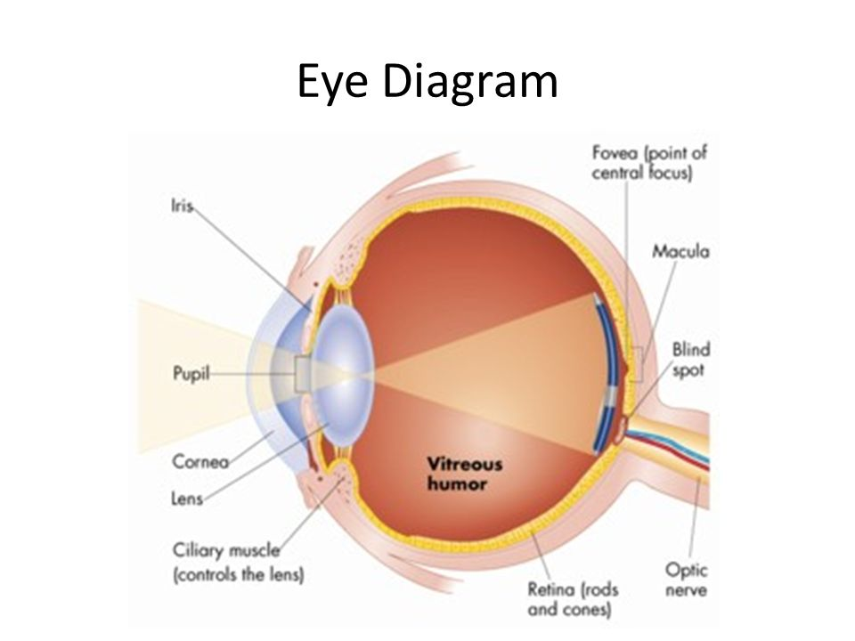 Diagram Of Eye Blind Spot Search For Wiring Diagrams