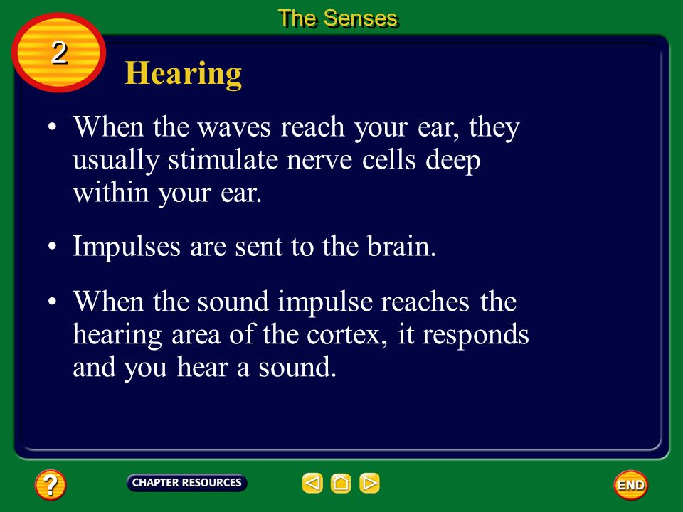 The Senses 2. Hearing. When the waves reach your ear, they usually stimulate nerve cells deep within your ear.