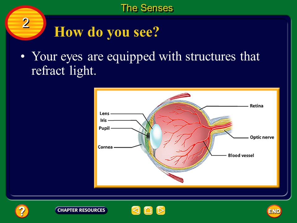 The Senses 2 How do you see Your eyes are equipped with structures that refract light.