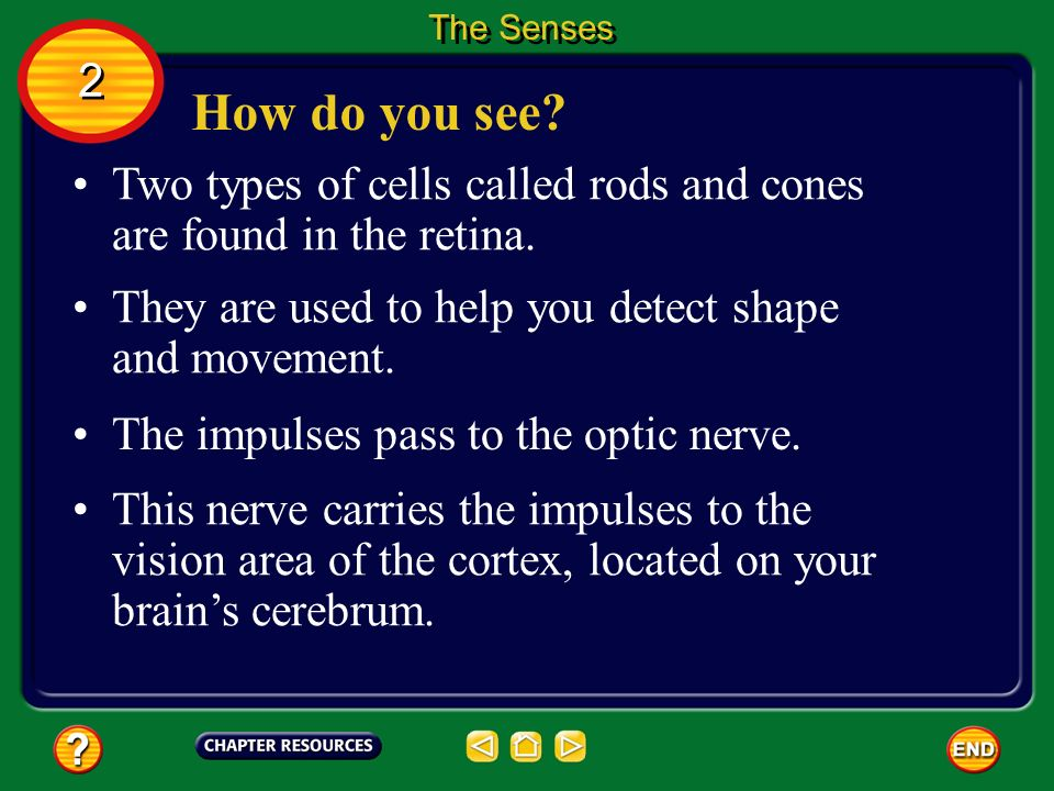 The Senses 2. How do you see Two types of cells called rods and cones are found in the retina.