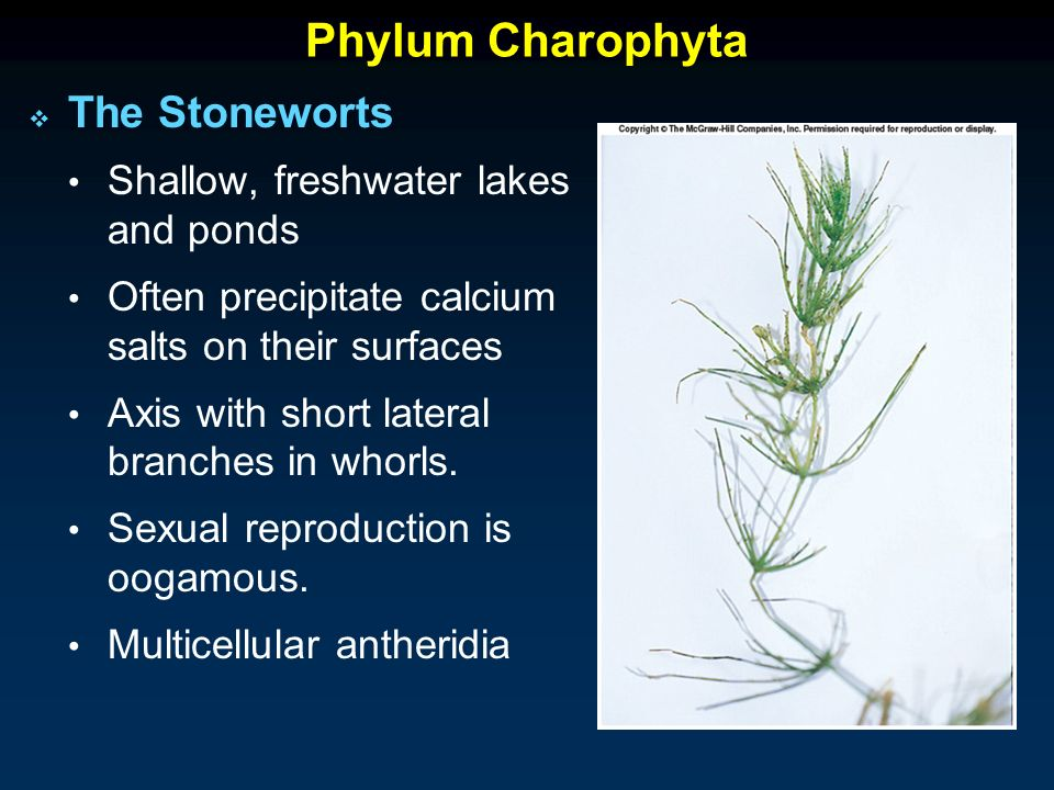 Charophyta asexual reproduction in bacteria