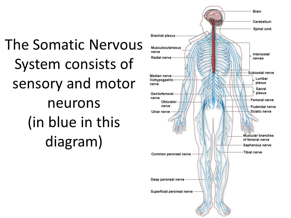 Psychology chapter 3 section 1 ppt video online download 33 the somatic nervous system consists of sensory and motor neurons in blue in this diagram ccuart Choice Image