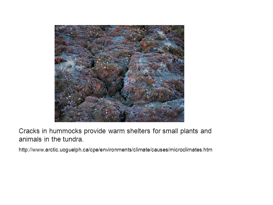 Cracks in hummocks provide warm shelters for small plants and animals in the tundra.