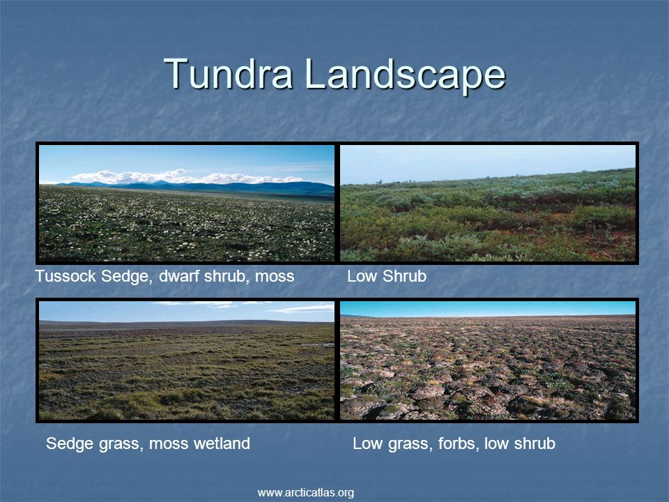 Tundra Landscape Tussock Sedge, dwarf shrub, moss Low Shrub