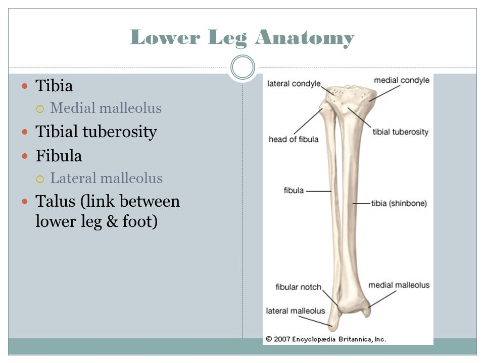Thigh Lower Leg And Ankle Ppt Download