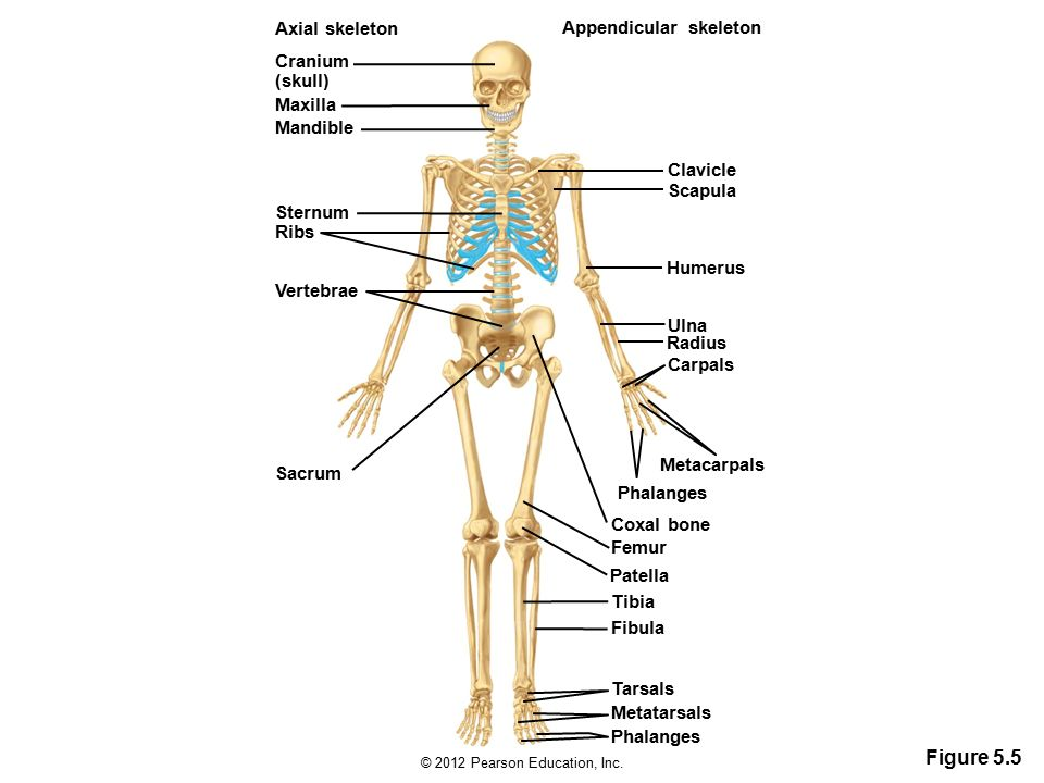 the axial and appedicular skeleton The appendicular exercise11 skeleton review sheet 11 163 bones of the pectoral girdle and upper extremity 1  6 shoulder girdle bone that is unattached to the axial skeleton 7 shoulder girdle bone that transmits forces from the upper limb to the bony thorax.