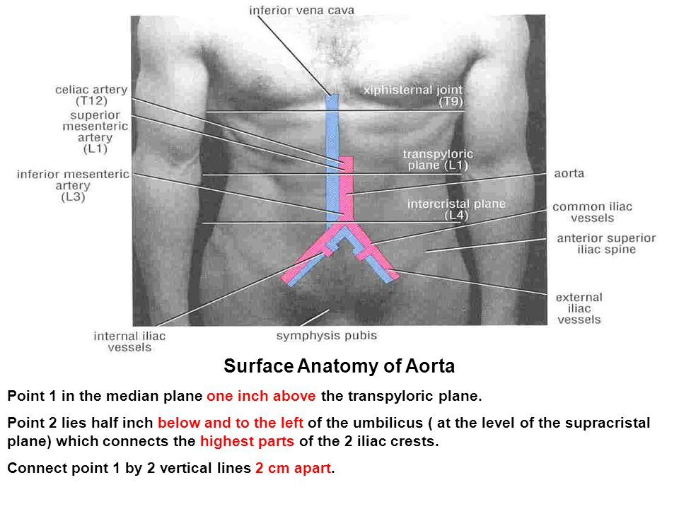 Surface Anatomy Of Abdomen Choice Image - human body anatomy
