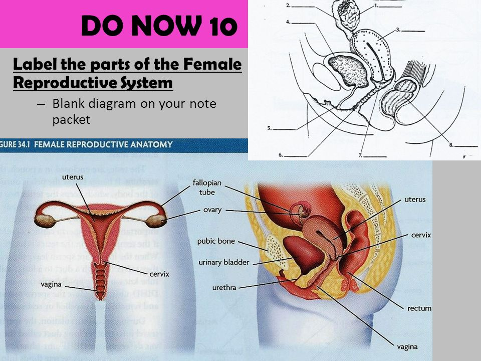 Goals Identify The Structures And Functions Of The Male And Female