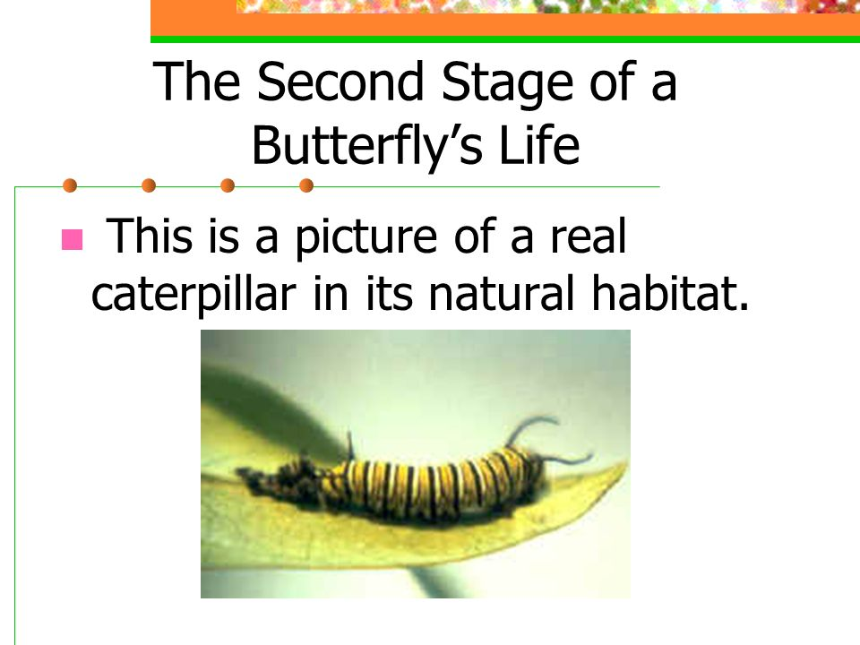 The Second Stage of a Butterfly's Life