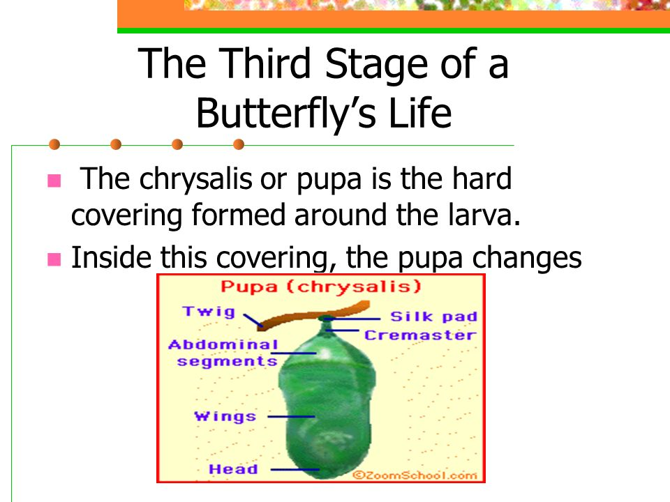The Third Stage of a Butterfly's Life