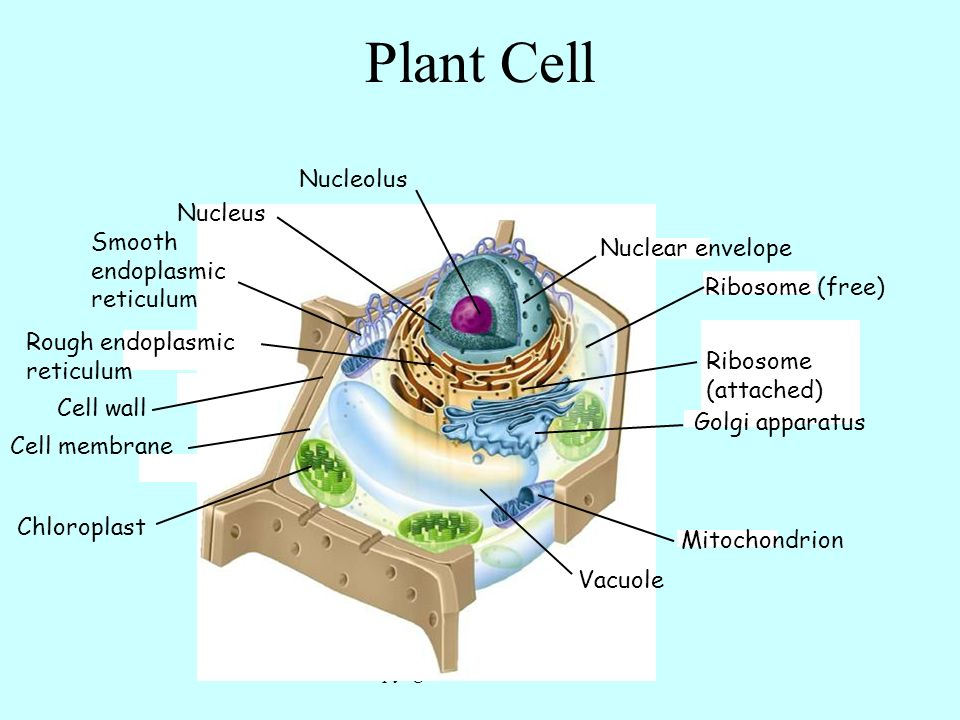 Copyright+Pearson+Prentice+Hall cell organelles ribosome (attached) nucleolus ribosome (free