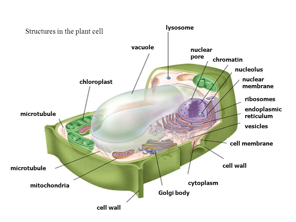 Cell structure and organelles ppt download structures in the plant cell ccuart Gallery