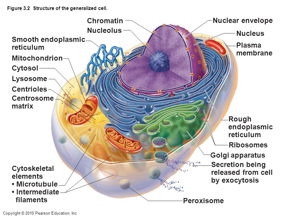 Body cell diagram pearson automotive block diagram chapter 3 cells the living units ppt video online download rh slideplayer com nerve cell diagram animal cell diagram ccuart Image collections