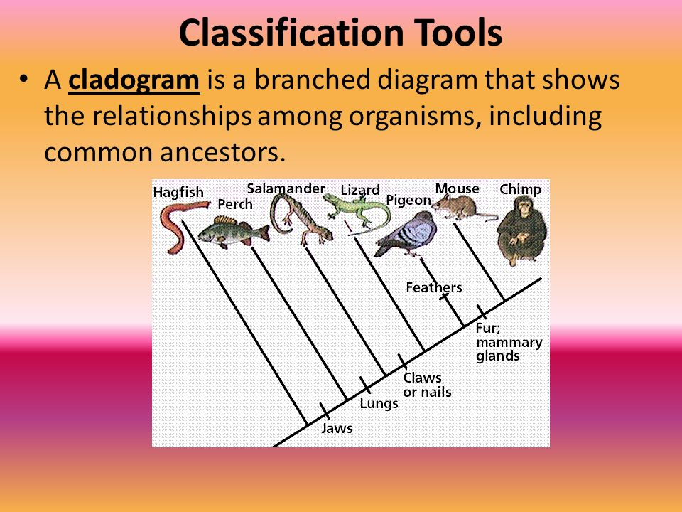 Classification Tools A cladogram is a branched diagram that shows the relationships among organisms, including common ancestors.