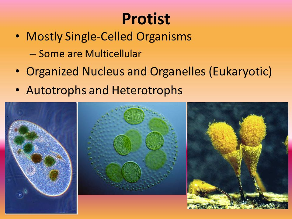 Protist Mostly Single-Celled Organisms
