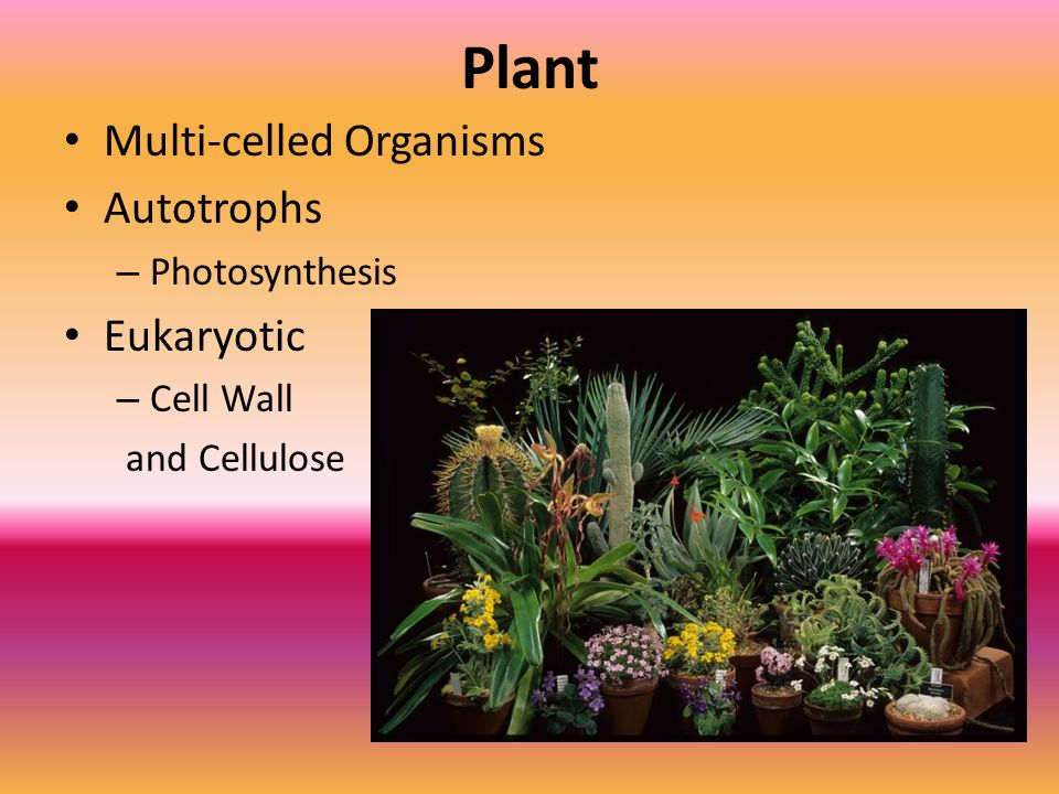 Plant Multi-celled Organisms Autotrophs Eukaryotic Photosynthesis