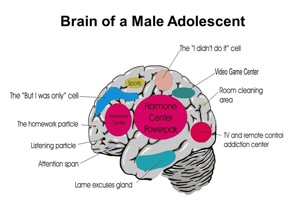Brain of a Male Adolescent