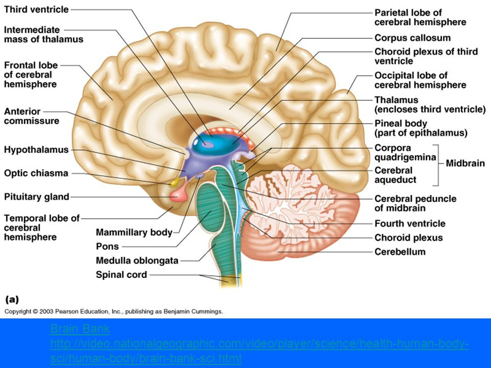 Central Nervous System - ppt video online download