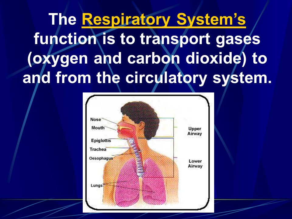 The Respiratory System's function is to transport gases (oxygen and carbon dioxide) to and from the circulatory system.