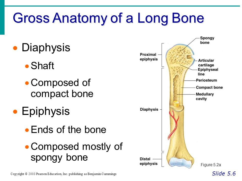 The Skeletal System Essentials of Human Anatomy & Physiology . - ppt ...
