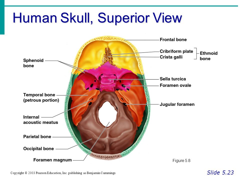 Essentials Of Human Anatomy And Physiology Skull - Binge Thinking