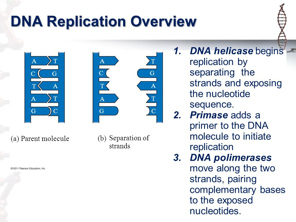 Topic 24 Dna Replication Ppt Video Online Download