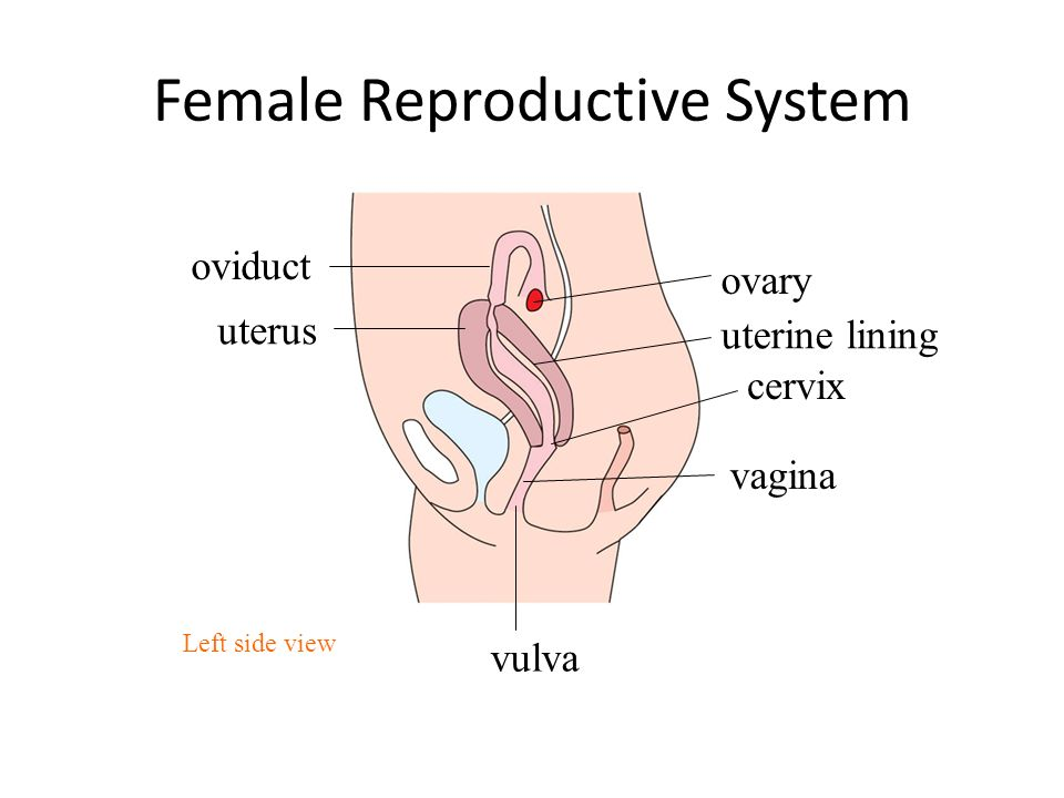 Female Reproductive System Diagram Side Auto Electrical Wiring