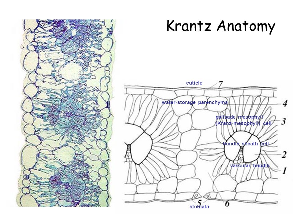 Modern Kranz Anatomy In C4 Plants Festooning - Anatomy And ...