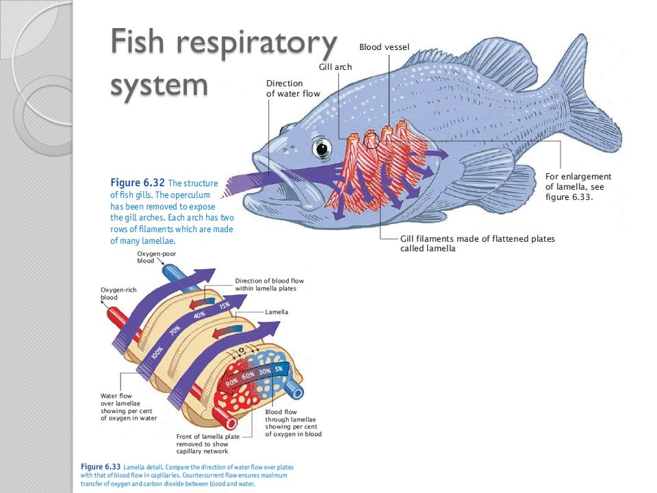 Energy and nutrients for life ppt video online download 76 fish respiratory system ccuart Choice Image