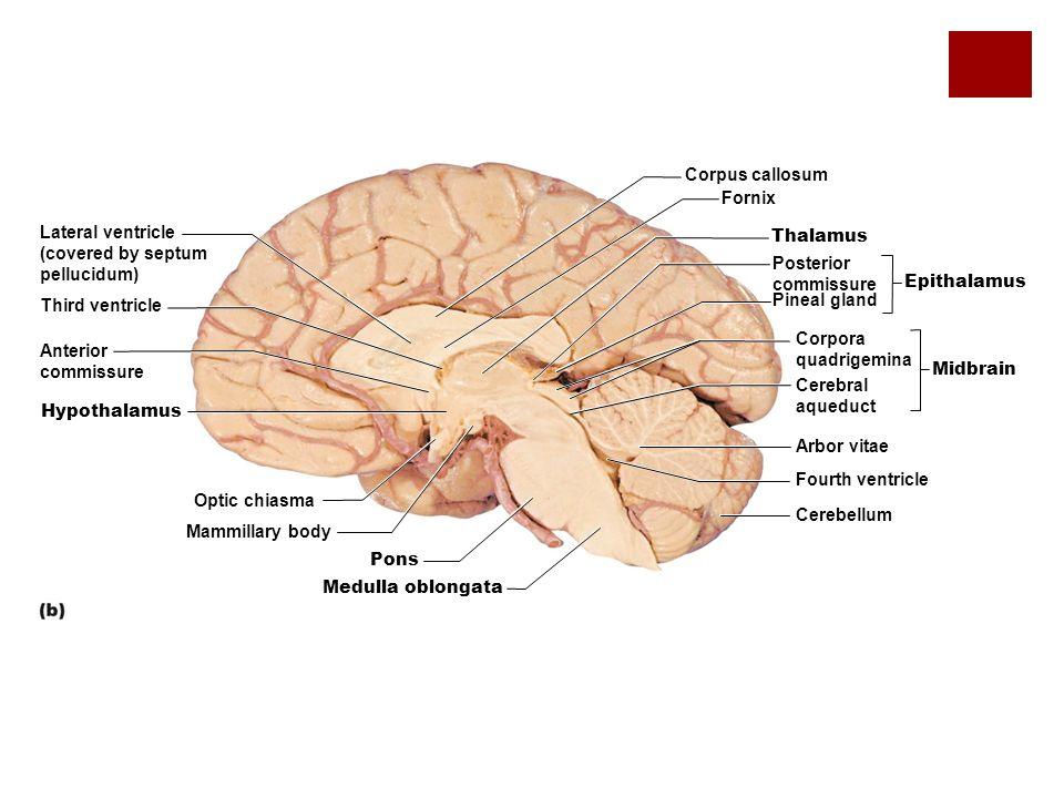 Brain Ventricles Diagram Septum Pellucidum Diy Enthusiasts Wiring
