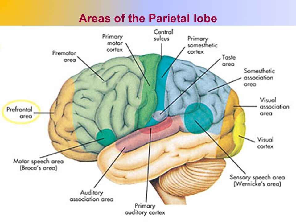 The Cerebrum The Cerebral Hemispheres Ppt Video Online Download