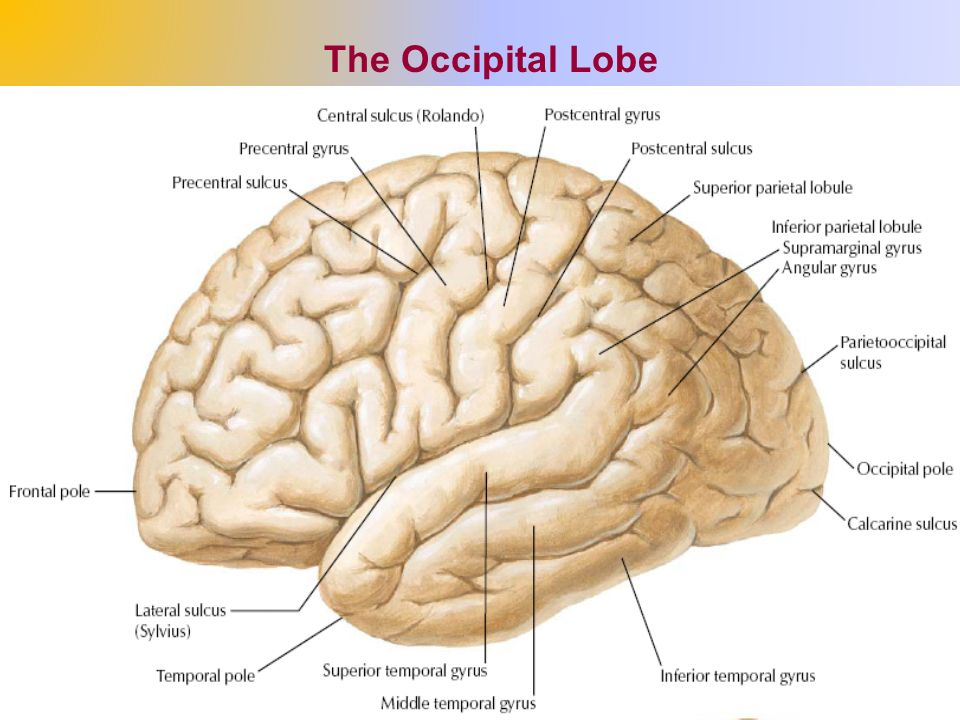 The Cerebrum (The Cerebral Hemispheres) - ppt video online download