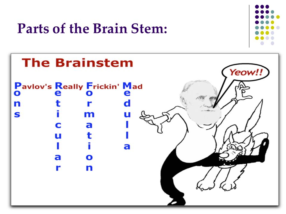 Parts of the Brain Stem: