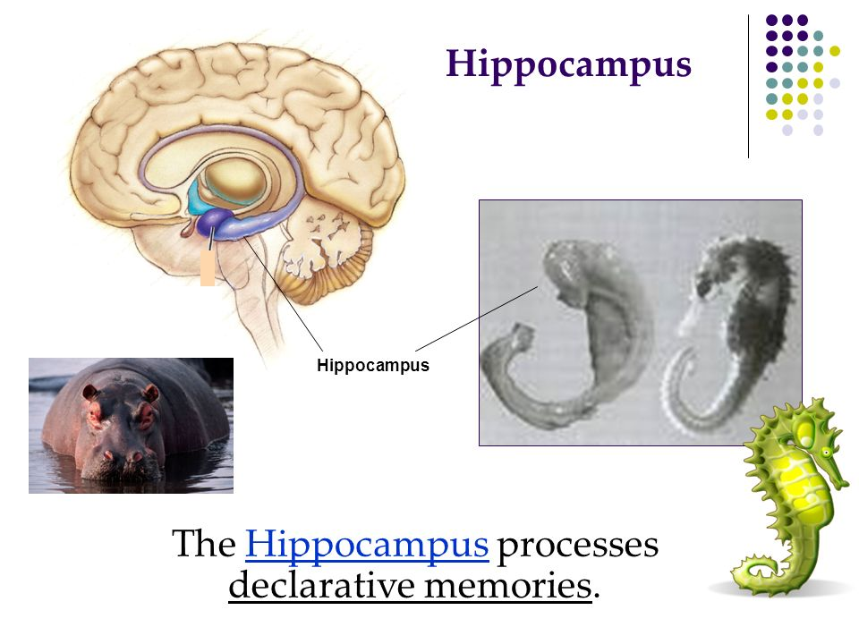 The Hippocampus processes declarative memories.