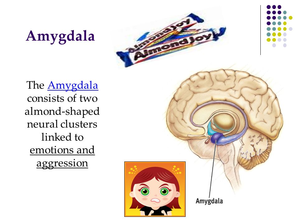Amygdala The Amygdala consists of two almond-shaped neural clusters linked to emotions and aggression.