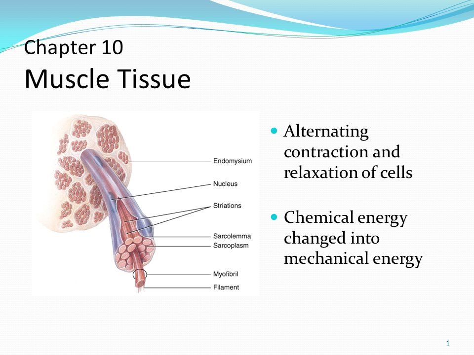 Chapter 10 Muscle Tissue Alternating Contraction And Relaxation Of Cells Chemical Energy Changed Into Mechanical Energy