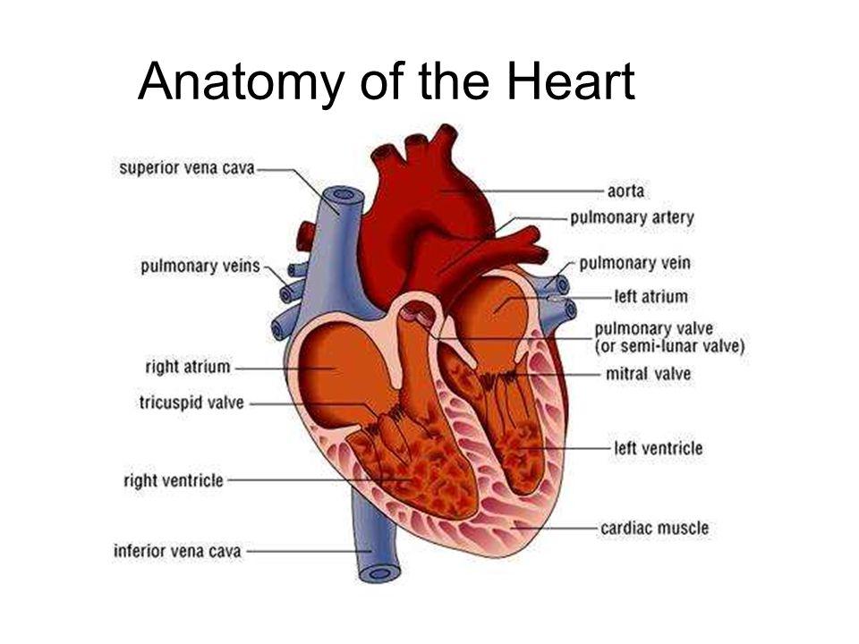Diagram of mammalian heart structure circuit connection diagram mammalian heart ppt video online download rh slideplayer com pig heart diagram heart anatomy diagram ccuart Gallery